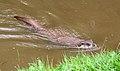 Otter 3 (2762647580).jpg