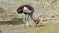 P1020484-Top-Südafrika- Kronenkranich, Tansania Ngorongoro Krater 2014.JPG