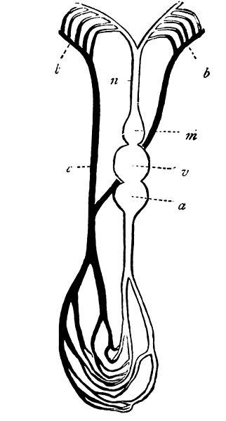 File:PSM V19 D663 Blood circulation diagram of a fish.jpg