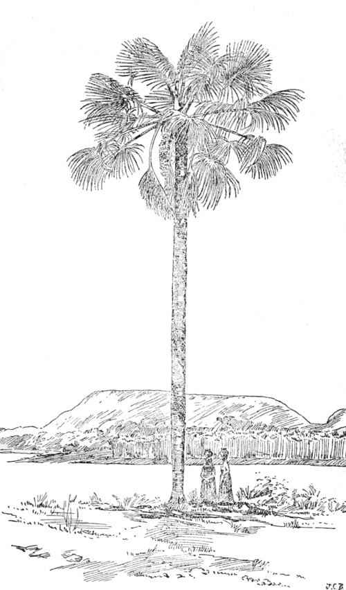 PSM V60 D411 Mirity palm of the amazons mauritia flexuosa.png
