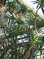 Pachpodium lamerii lamerii Habitusflowers BotGardBln0906a.JPG