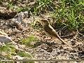 Paddyfield Warbler (Acrocephalus agricola) (45869544974).jpg
