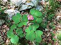 Paeonia mascula Croatia.jpg