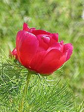 Півонія вузьколиста — Вікіпедія