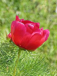 Paeonia tenuifolia2