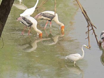 Painted stork bird.jpg