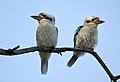 Pair of kookaburras in the North East Wetlands - Radford.jpg