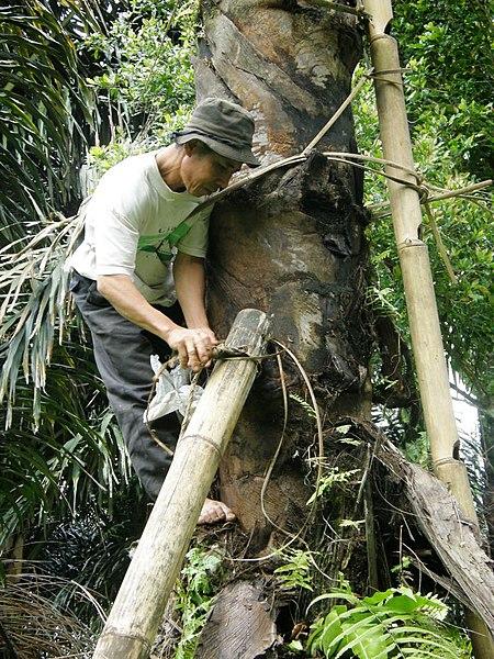 File:Palmsaftgewinnung3.jpg