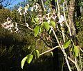 Pandorea pandorana flowers and foliage.jpg
