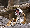 Panthera tigris altaica at Tierpark Berlin (3).JPG