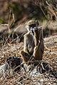 Papión chacma (Papio ursinus), parque nacional de Chobe, Botsuana, 2018-07-28, DD 104.jpg