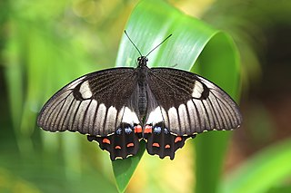 <i>Papilio aegeus</i> species of insect