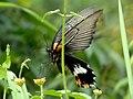 Papilioninae (15905101880).jpg