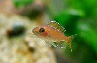 Paracyprichromis Nigripinnis-1