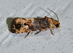Paralobesia viteana - Grape Berry Moth (14275283321).jpg