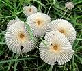 Parasola auricoma (Pat.) Redhead, Vilgalys & Hopple 768309.jpg