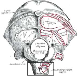 Pharyngeal tubercle - Occipitanl bone. Outer surface. (Pharyngeal tubercle not labeled but visible at bottom, at center of box, labeled as attachment point of constrictor pharyngis superior.)