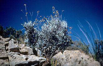Parthenium argentatum - Image: Parthenium argentatum (USDA)