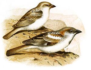 Abd al-Kuri sparrow - Female (above) and male (below) in an illustration by Henrik Grönvold