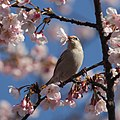 Passer rutilans (female eating Sakura).JPG