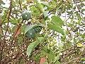 Passiflora ligularis, the sweet granadilla or grenadia at Mannavan Shola, Anamudi Shola National Park, Kerala (4).jpg