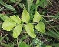 Pastinaca sativa subsp. urens leaf (05).jpg