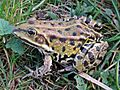Pelophylax spec. (Anura sp.), Elst (Gld), the Netherlands.jpg