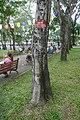 Peltophorum pterocarpum-Ho Chi Minh City (2).jpg