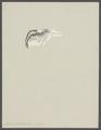 Penaeus sulcatus - - Print - Iconographia Zoologica - Special Collections University of Amsterdam - UBAINV0274 097 10 0002.tif