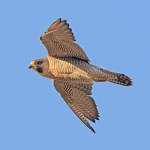 an overview of the peregrine falcon Background information: the peregrine falcon has always been a rare species in new brunswick before 1950, scientists believed that there were only a handful of pairs,.