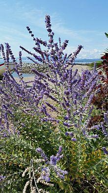 Perovskia atriplicifolia - Wikipedia, la enciclopedia libre