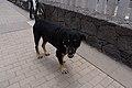 Perro en la Jolatería en Puerto Naos 02.jpg