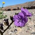 Phacelia calthifolia 6.jpg