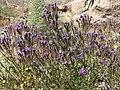 Phacelia crenulata 13.jpg