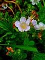 Phacelia platycarpa 154930697.jpg