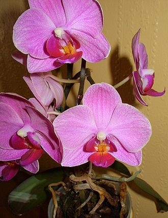 Phalaenopsis - Pink phalaenopsis (moth) orchids