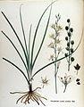 Phalangium liliago — Flora Batava — Volume v17.jpg