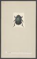 Phanaeus - Print - Iconographia Zoologica - Special Collections University of Amsterdam - UBAINV0274 001 05 0011.tif