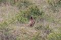 Phasianus colchicus 126989935.jpg