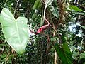 Philodendron erubescens (angiospermes).jpg
