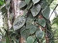 Philodendron scandens oxycardium-yercaud-salem-India.JPG