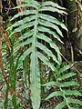 Phlebodium aureum (Polypodiaceae).jpg