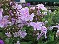 Phlox paniculata Franz Schubert 0zz.jpg