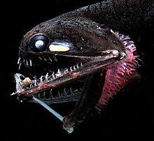 Tiefseefisch Wikipedia
