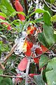 Phromnia rosea 1.jpg