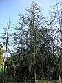 Picea abies f virgata Käärmekuusi Ormgran C DSC02590.JPG