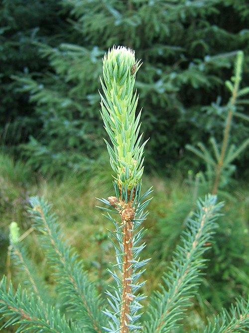 how to grow norway spruce