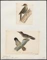 Picus lignarius - 1700-1880 - Print - Iconographia Zoologica - Special Collections University of Amsterdam - UBA01 IZ18700101.tif