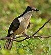Pied Cuckoo (Clamator jacobinus) in AP W IMG 4009.jpg