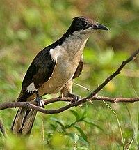 Pied Cuckoo (Clamator jacobinus) in AP W IMG 4009
